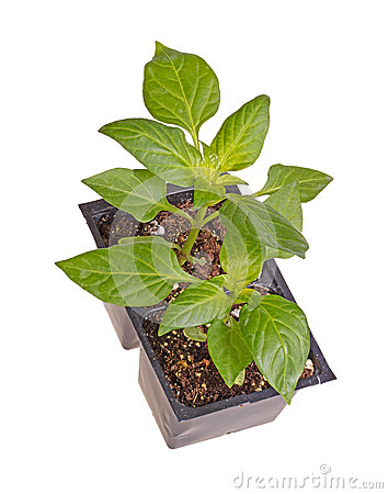 Two seedlings of sweet bell pepper plants
