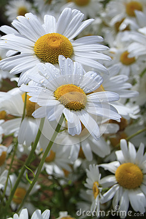 Free Two Shasta Daisies Dappled With Water Droplets Stock Photography - 94103762