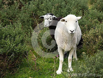 Two sheep curious stare at camera