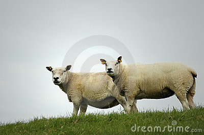 Two Sheep on a Dike