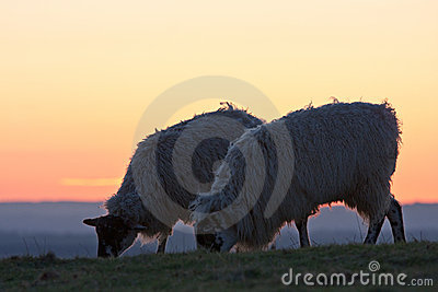 Two sheep grazing at sunset