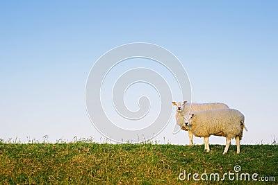 Two sheep posing