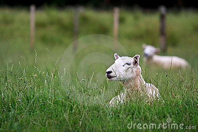 Two sheep resting in long grass