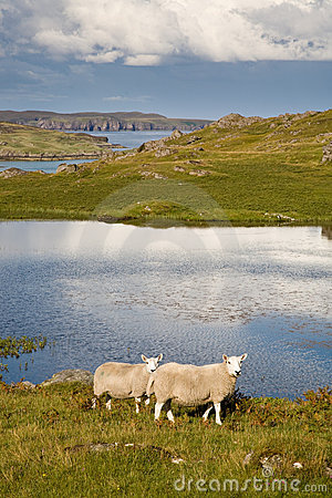 Two sheep in Scotland