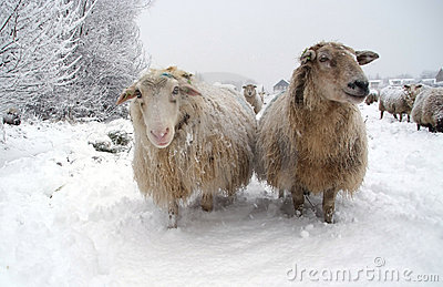 Two sheep in the snow