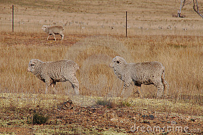 Two sheep walking in a row in a dry farm paddock