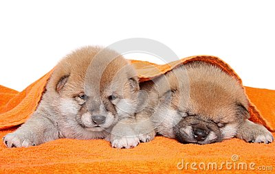 Two Shiba Inu puppies under blanket