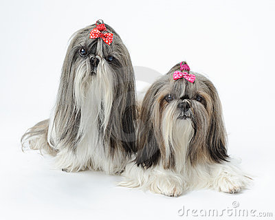 Two Shih Tzu dogs