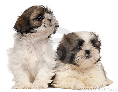 Two Shih-tzus