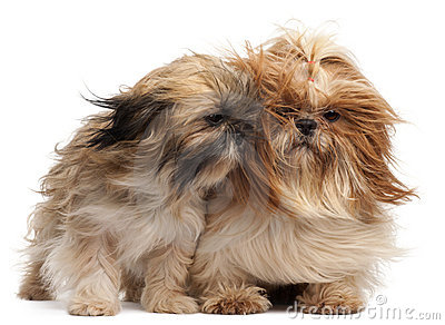Two Shih-tzus with windblown hair