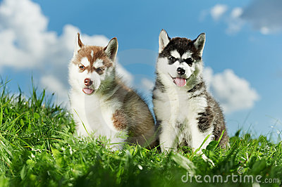 Two Siberian husky puppy on grass