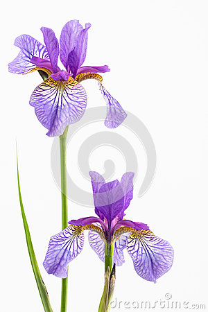 Free Two Siberian Irises Stock Photography - 53965362