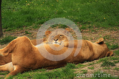 Two sibling sub adult lions sleeping