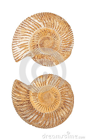 The two sides of an ammonite fossil shell