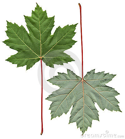 Two sides of a maple leaf