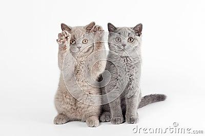 Two small british kittens