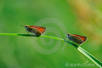Two small butterflys
