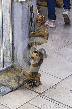 Free Two Small Gibraltar Barbary Macaque Monkey Play Rock With A Metal Chain On The Top Of The Rock Of Gibraltar Royalty Free Stock Images - 62049649