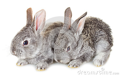 Two small gray rabbits