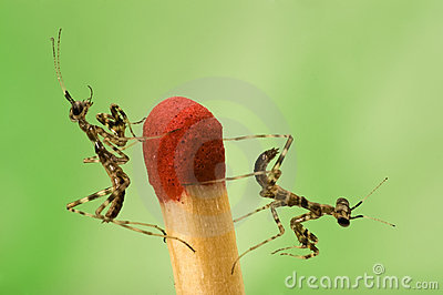 Two small mantises and match close-up on green bac