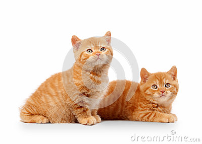 Two small red british kittens