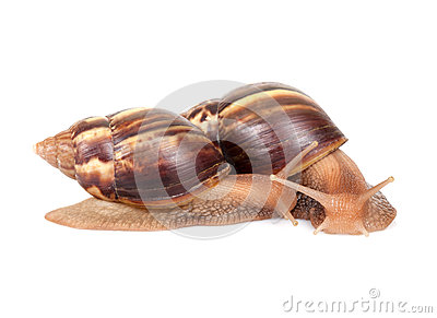 Two snails crawl on white background