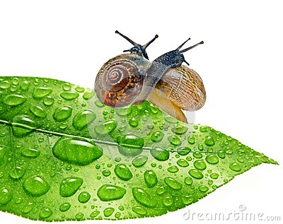 Two snails on dewy leaf
