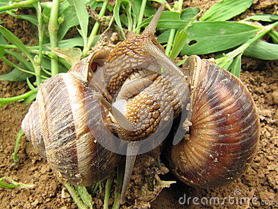 Love of two snails