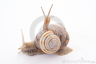 Two snails.isolated