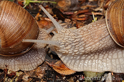 Two snails (macro) creep towards each other