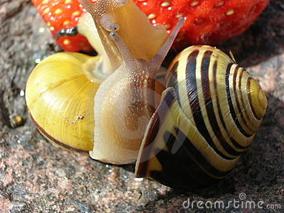 Two Snails near a Strawberry