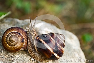 Two snails on stone