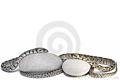 Two snakes on two stones.