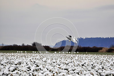 Two Snow Geese are Landing in this Massive Flock