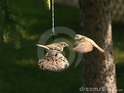 Two Song Sparrows at a feeder