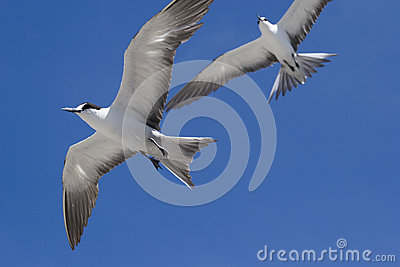 Two Sooty Terns in flight Ascension Island