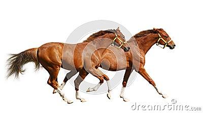 Two sorrel foals gallop