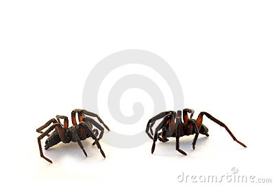 Two spiders