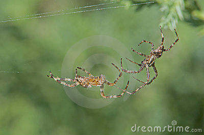 Two spiders fighting