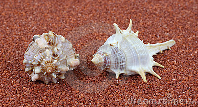 Two spiral shells on coarse sand