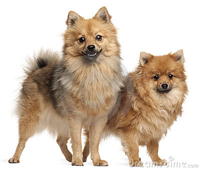 Two Spitz dogs, 1 year old