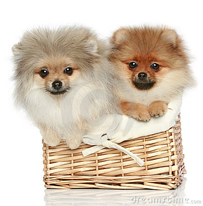 Two Spitz puppies (5 months) in basket