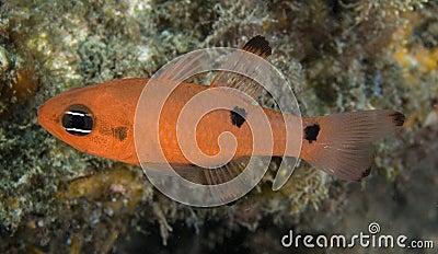 Two Spot Cardinalfish