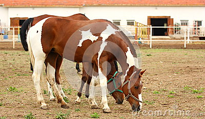 Two spotted horses