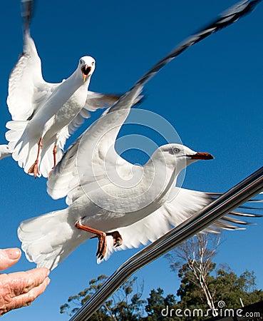 Free Two Squabbling Australian Seagulls, Silver Gulls, In Full Flight Stock Photography - 98113212