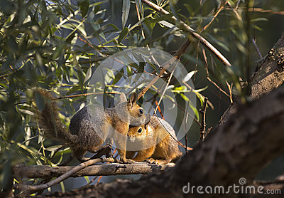 Two Squirrels on The Tree