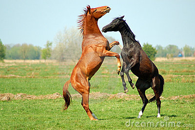 Two Stallions in fight