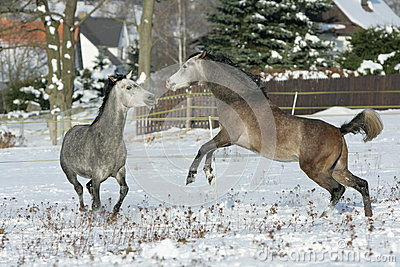 Two stallions fighting in winter