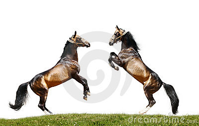 Two stallions isolated