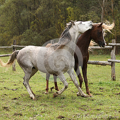 Two stallions playing on pasturage